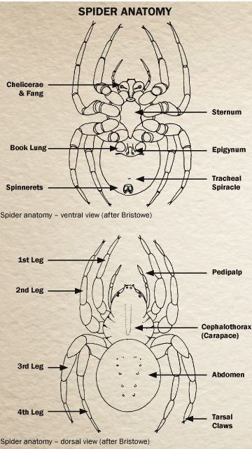 Book Excerpt Basic Spider Anatomy Pct Pest Control Technology
