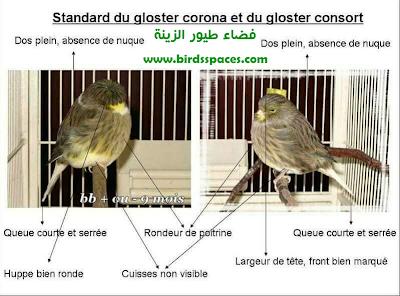 معــايير تـنقيط كـناري الـجلوستر المقنبر و الغير مقنبر Animals Canary Bird
