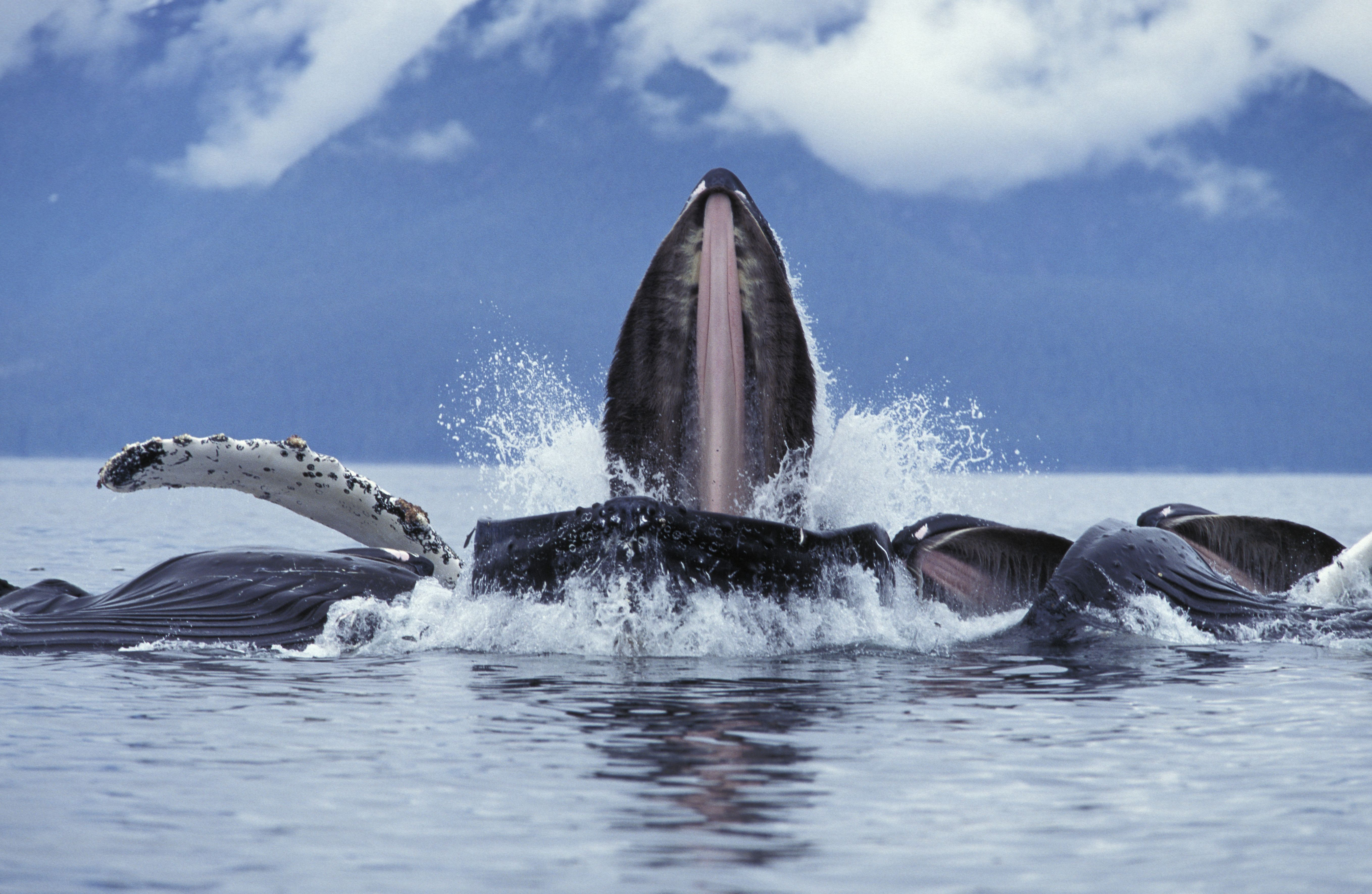 Alaska Humpback Whales Under The Sea Animals Work With Animals Whale