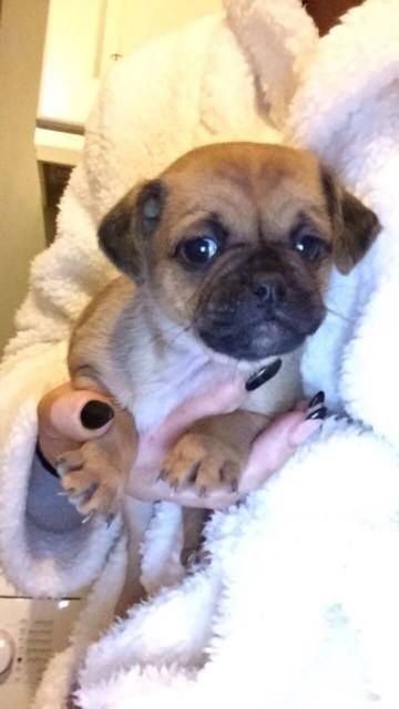 beautifull Gumtree Jack jug JUGS Pug Puppies