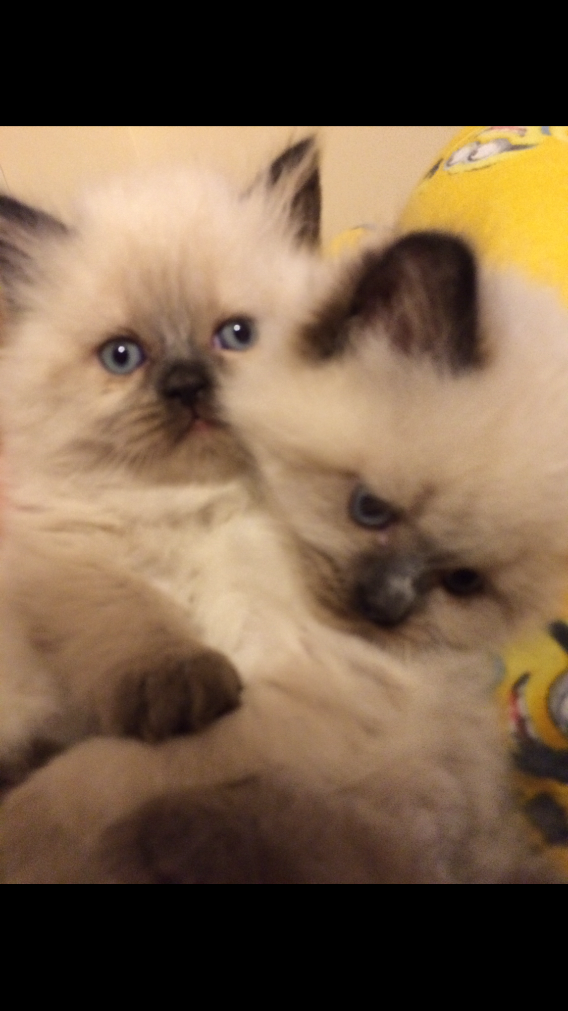 Himalayan kittens for sale www.khloeskittens.com | Himalayan ...