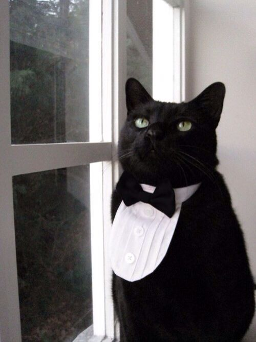 Cat wearing a tuxedo shirt & tie   Men & Animals in ...