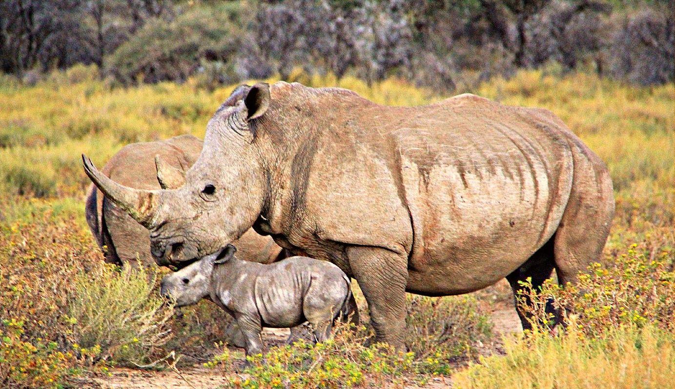 GocheGanas' rhino baby born in May 2013! #africa #namibia #windhoek #safari #desert #landscape #nature #wellness #fitness #species  #conservation #animals #thino #baby #travel #adventure #holiday #experience #adventure #vacations #luxurious #wilderness #wildlife #destination