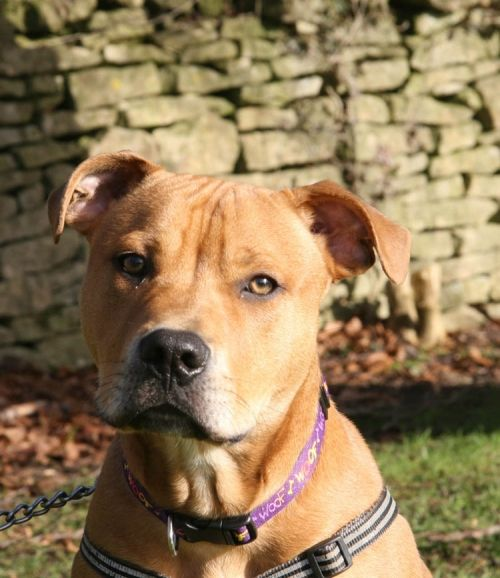 Staffy Cross Bronson At Bath Cats Dogs Home Http Www Bathcatsanddogshome Org Uk Rehoming Dogs Bronson 3419 Rehoming Office Dog Dog Cat