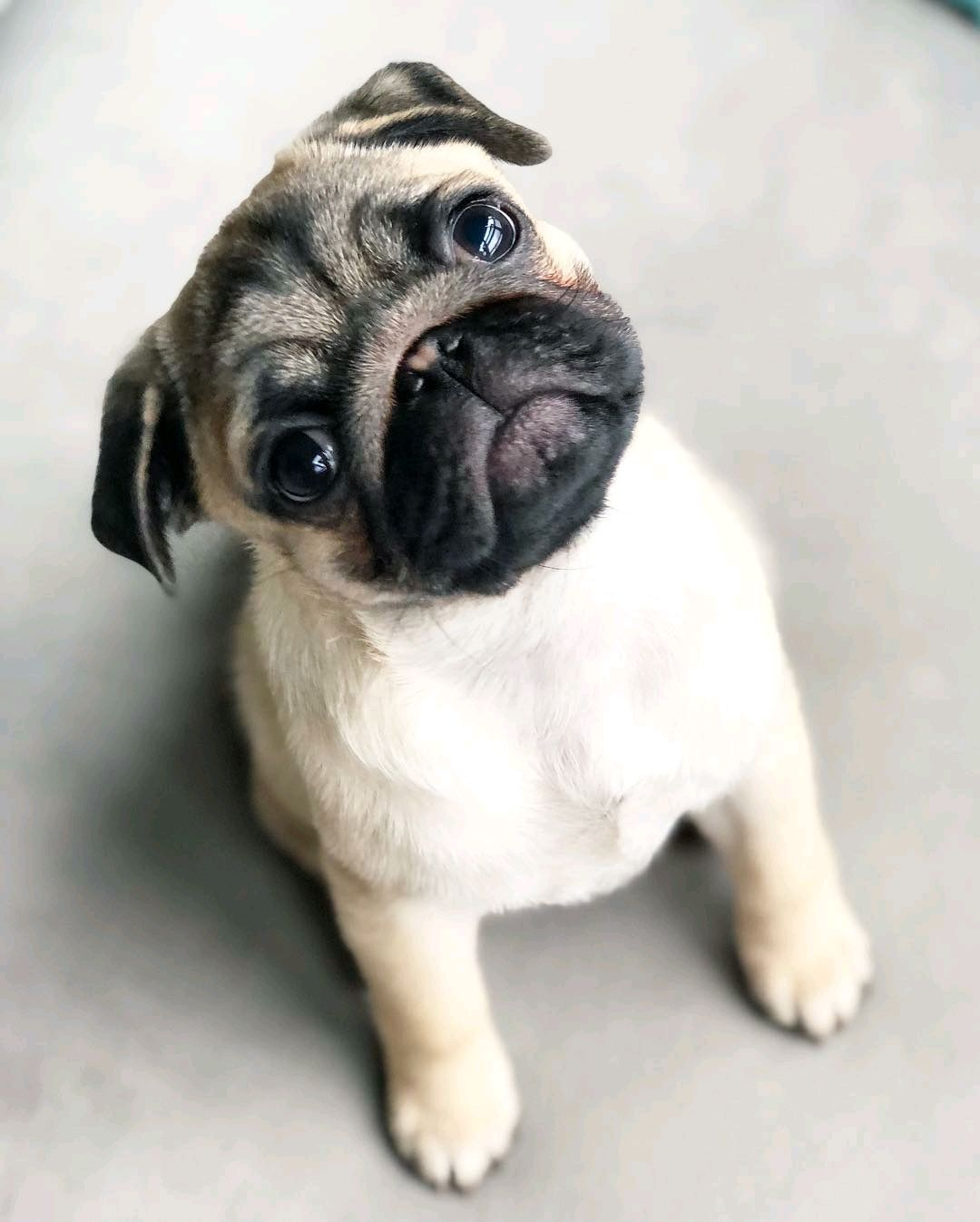 Pin By Olivia Stevens On Dog Baby Pugs Cute Pugs Puppies