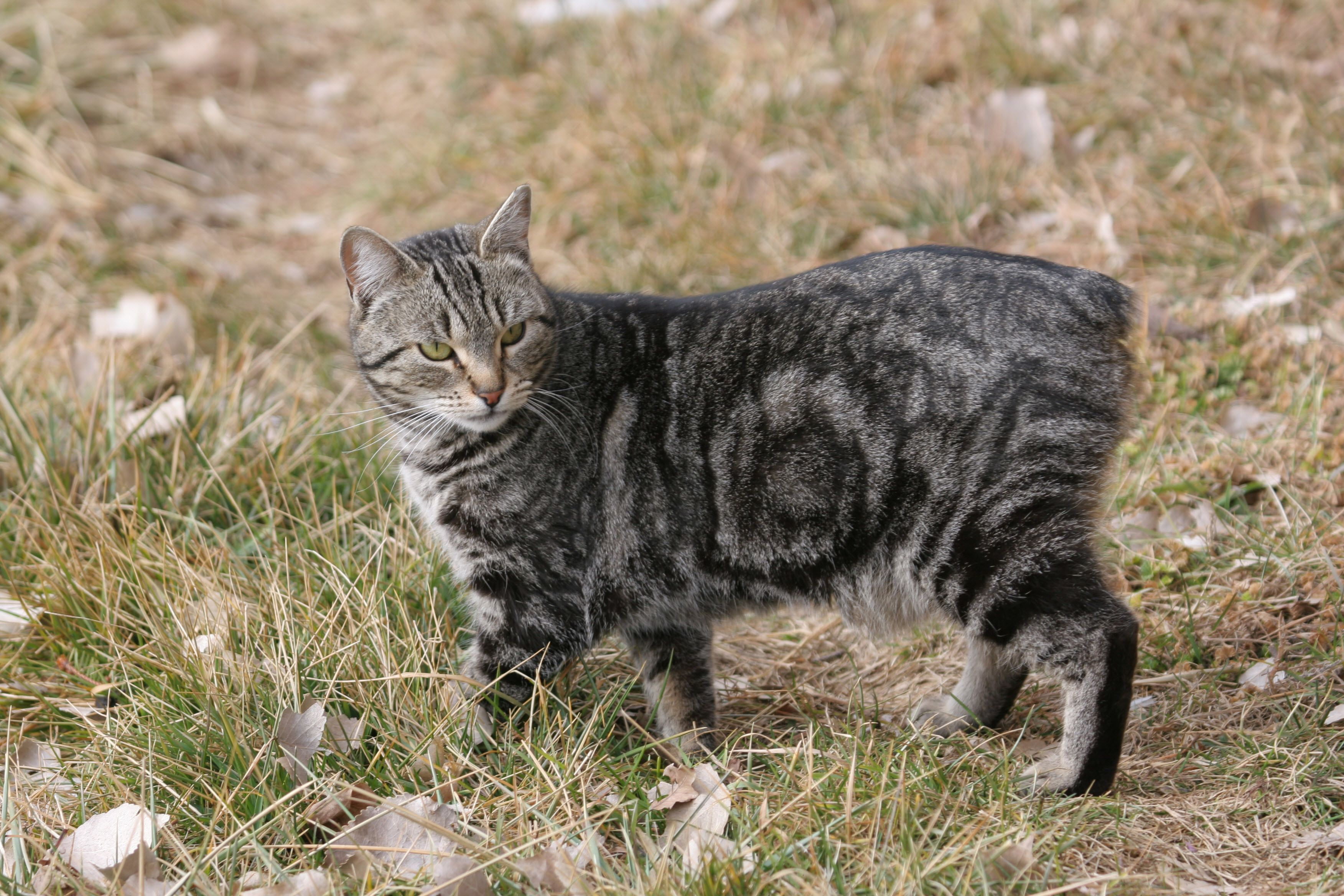 Manx.jpg (3504×2336) Cat breeds, Animals, Manx cat