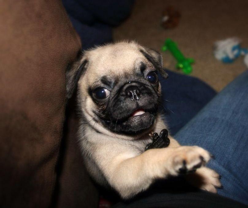 My Mr Bob Ross Pug Rescue Pugs Animal Rescue Site