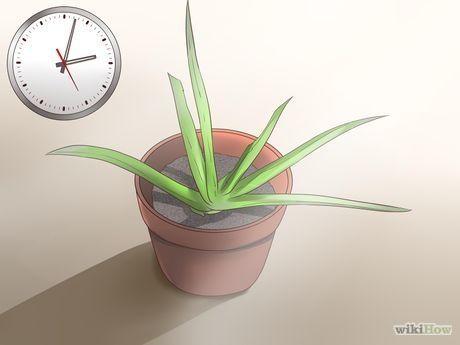 Planter De L Aloe Vera Plantation Composition Et Plantes