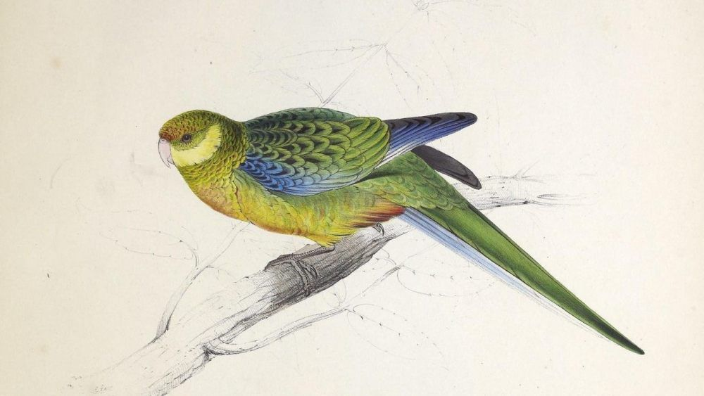 A Stanley Parakeet by Edward Lear on Curiator http