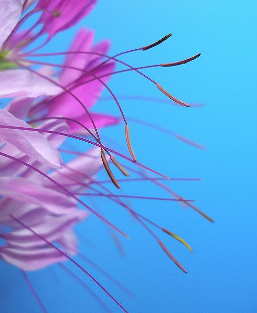 Pink petals & stamens 1 by tanakawho, via Flickr