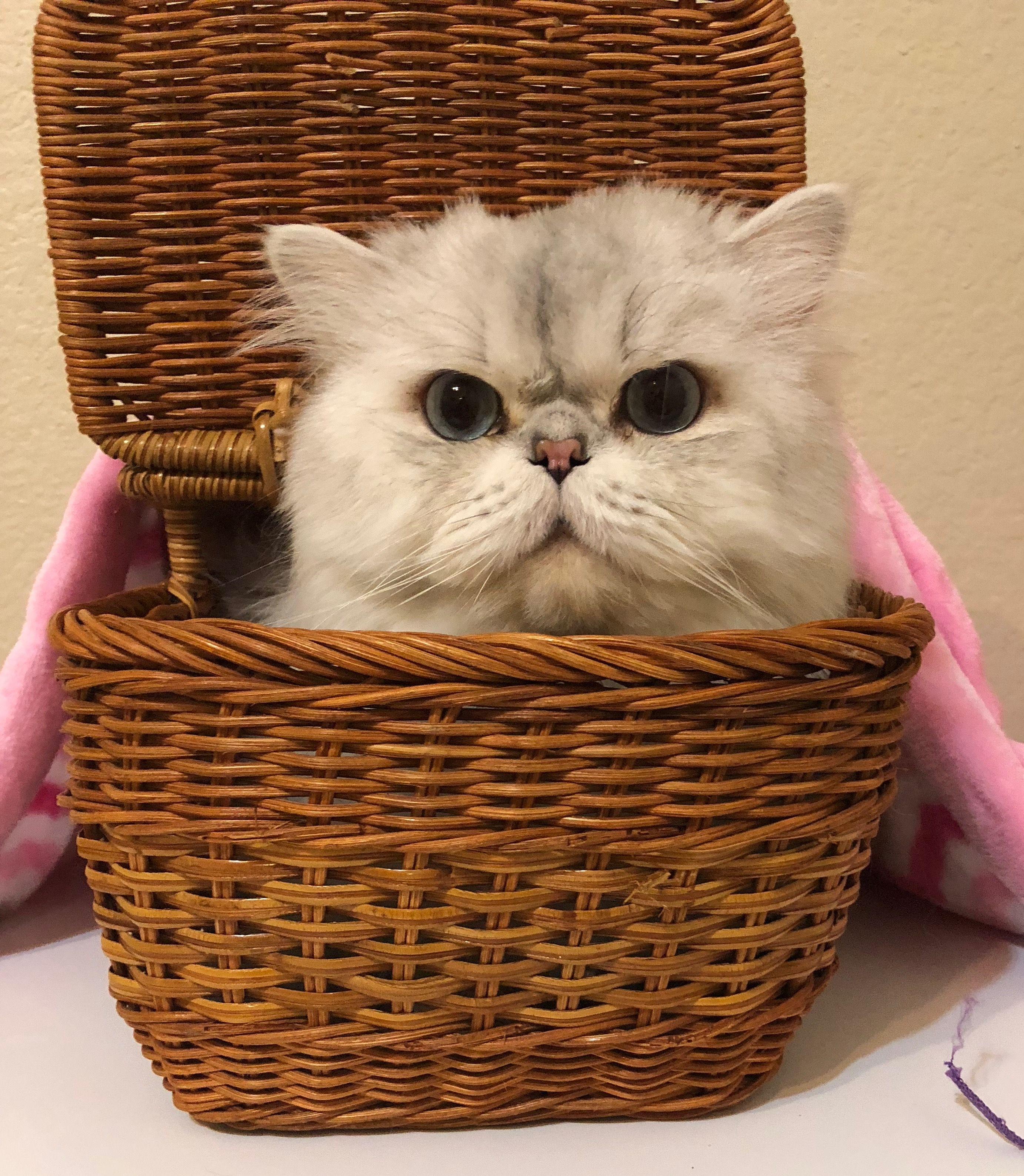 White Blue Lynx Point Persian Cat Meet Maui He S My Baby