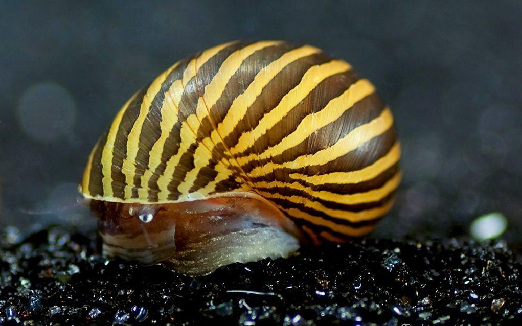 Freshwater Zebra Nerite Snails Caracoles Fotos