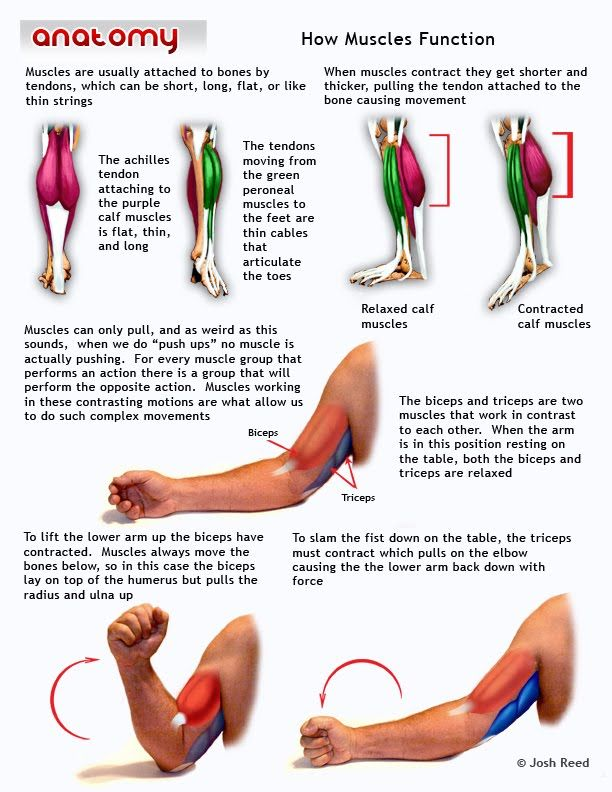 How Muscles Function | Ace Personal Trainer | Pinterest | Anatomy ...