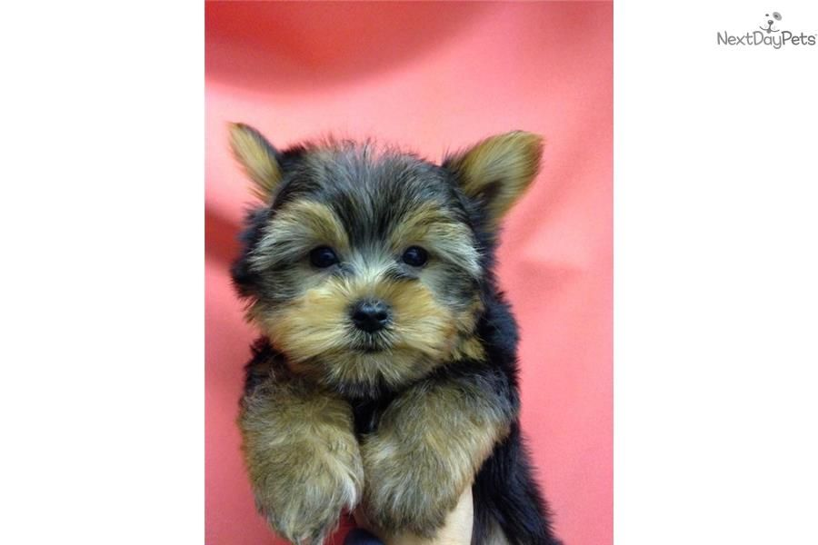 Yorkshire Terrier Yorkie puppy for sale near New York