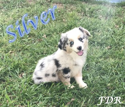 Miniature Australian Shepherd Puppy For Sale In Forestburg Tx Adn 25851 On Puppyfind Aussie Puppies Australian Shepherd Miniature Australian Shepherd Puppies