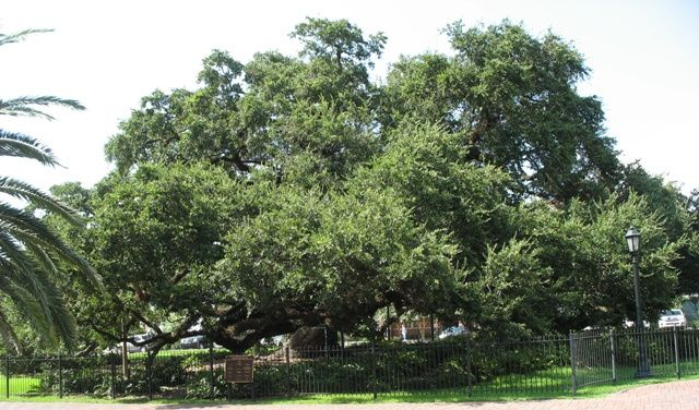 Cathedral Oak- Third oldest tree in the Live Oak Society- over 500 years old - Lafayette, Louisiana