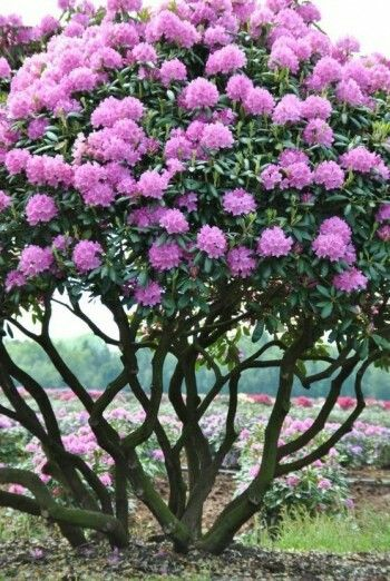 rododendron lavender shades