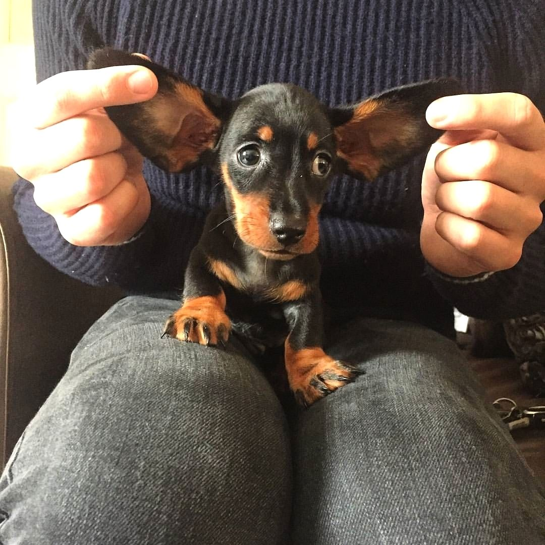 Dachshund Products Apparel And Gifts Dachshund Dog Dachshund Puppies Puppies