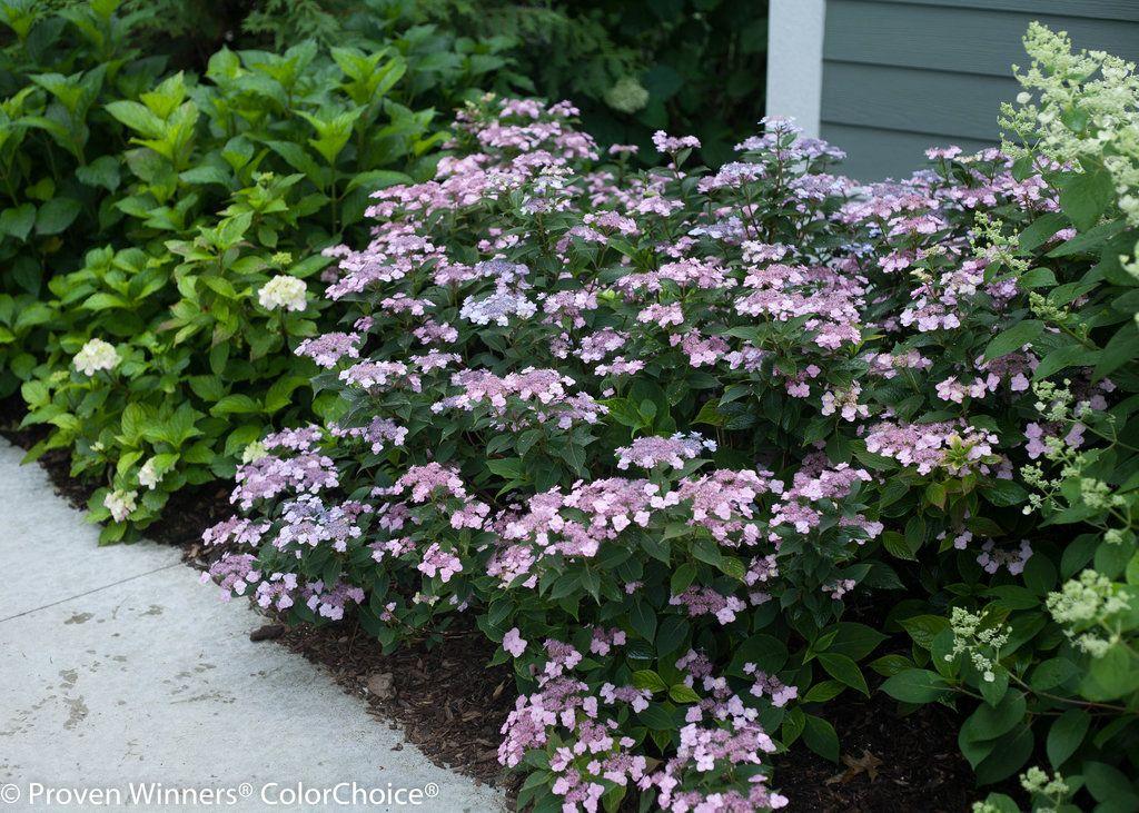 Tiny Tuff Stuff™ - Mountain Hydrangea - Hydrangea serrata   Proven Winners
