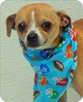 Pin By Paisley Pie On Chihuahua Love Dogs Chihuahua Pets