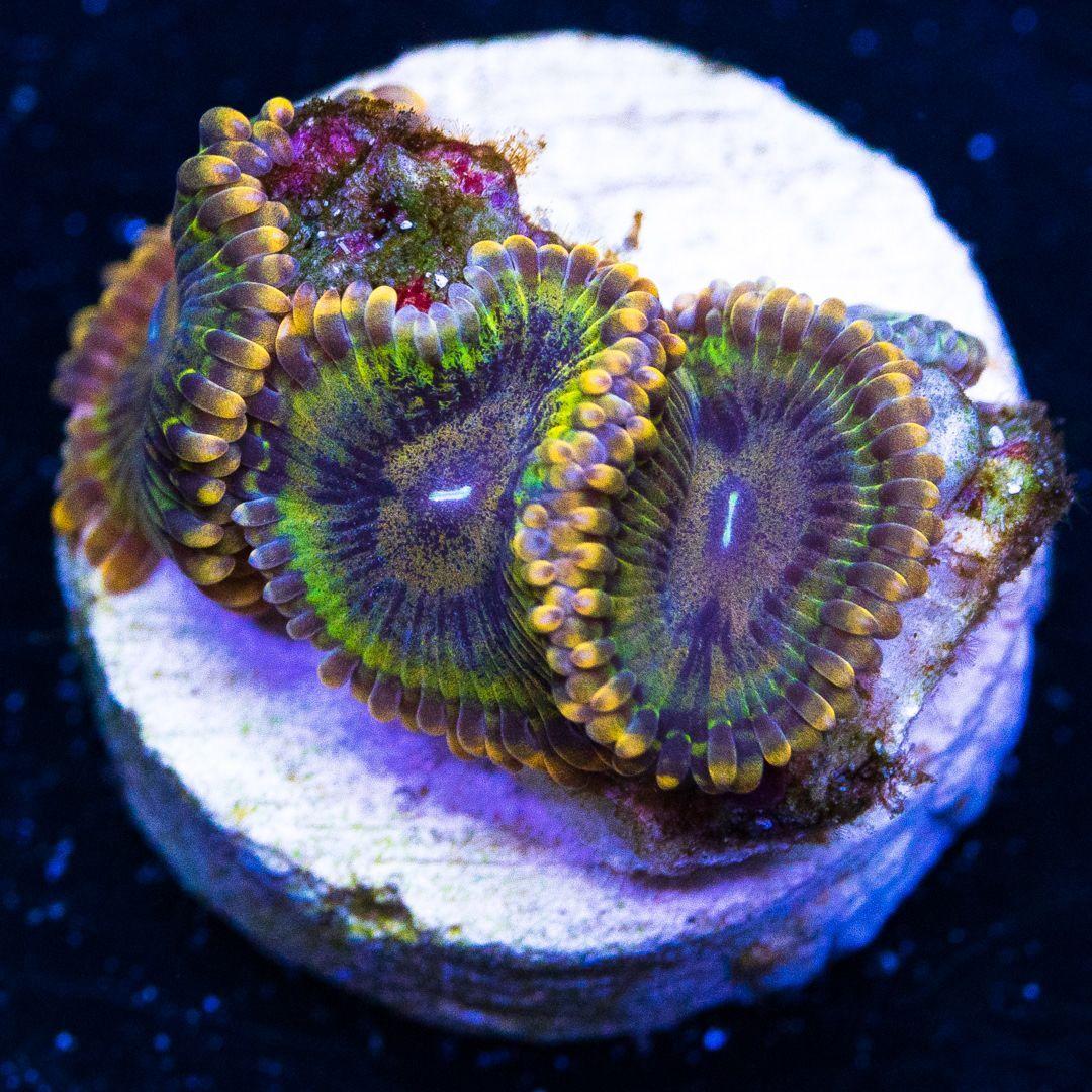Wwc Sopranos Zoanthids 65 Reef Tank Sopranos Ocean