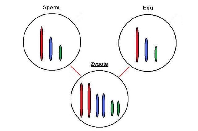 Zygote: a fertilized egg containing both paternal and