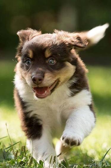 Hier Komme Ich Aussie Action Im Garten Susseste Haustiere Niedliche Hunde Und Hunde Welpen