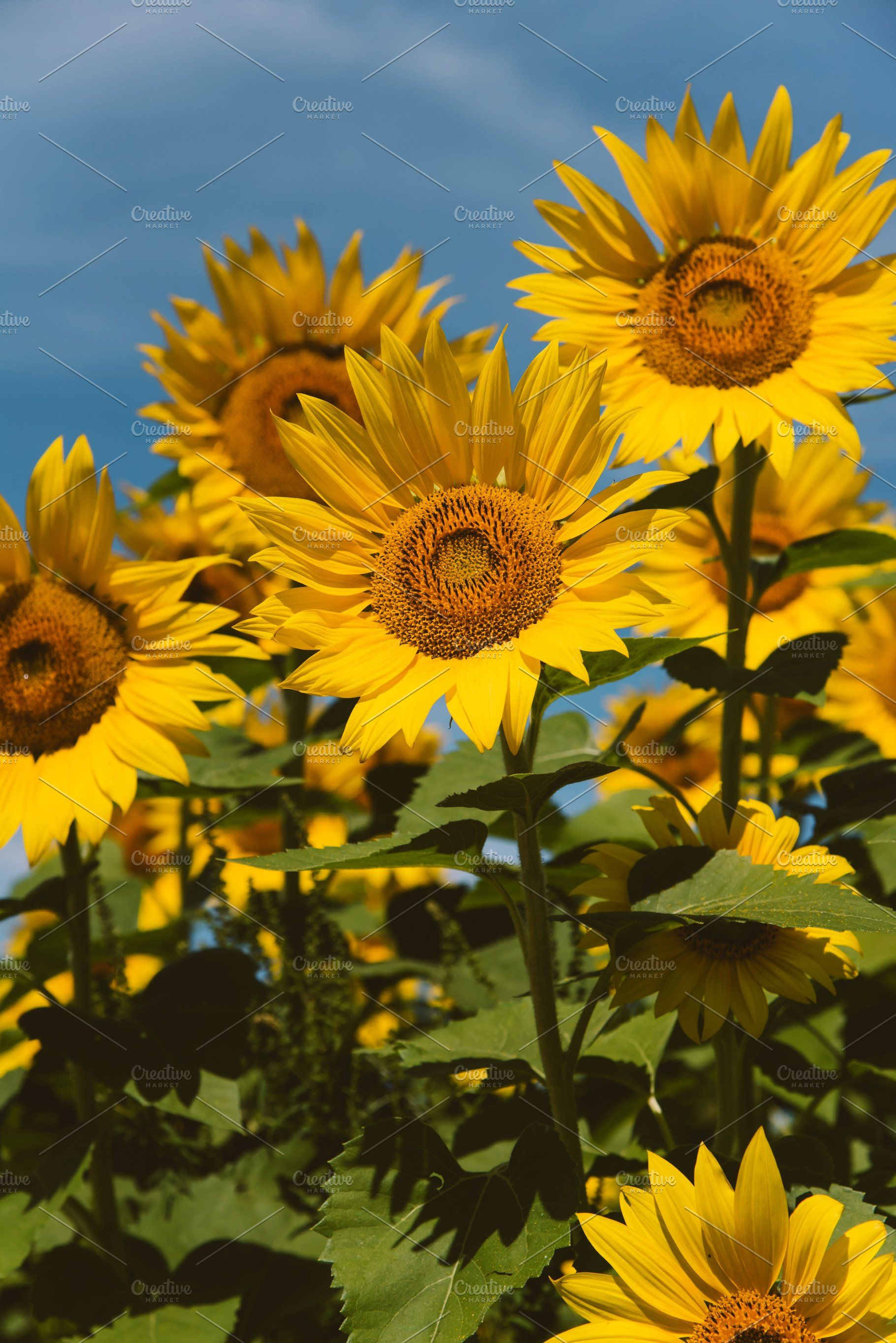 Sunflower Field In Full Bloom Sunflower Fields Nature Photos Nature Posters
