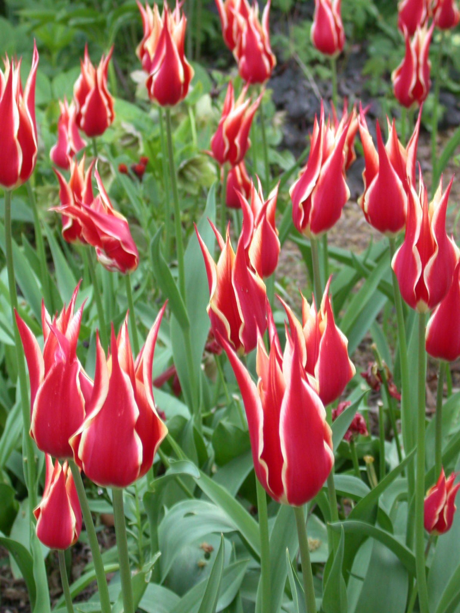 Tulip Alladin S Record Lily Flowered Tulips Lily Flower Tulips Flowers