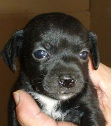 Adopt Spaniel Mix Puppies On Petfinder Puppies Spaniel Spaniel Dog