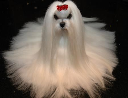 Maltese Dog Grooming Styles Google Search Maltese Dogs