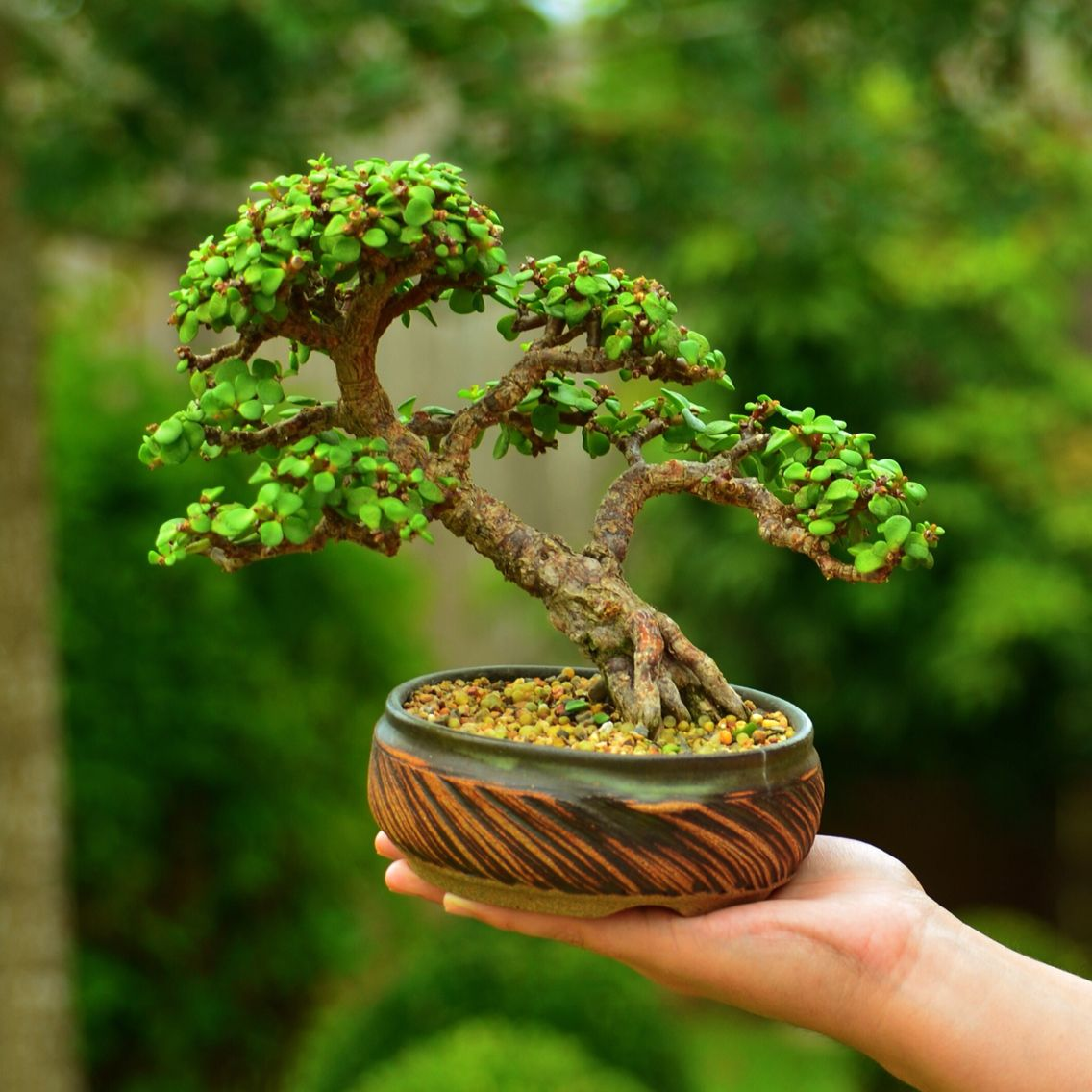 portulacaria afra dwarf jade bonsai tree by gilbert cantu with little jade bonsai. Black Bedroom Furniture Sets. Home Design Ideas