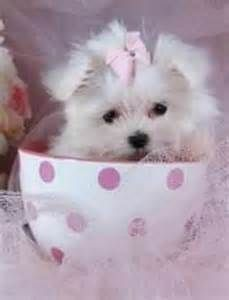 Teacup Maltese - Bing Images
