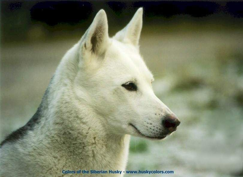 Kim Isabella White Siberian Husky Colors Of The Siberian Husky