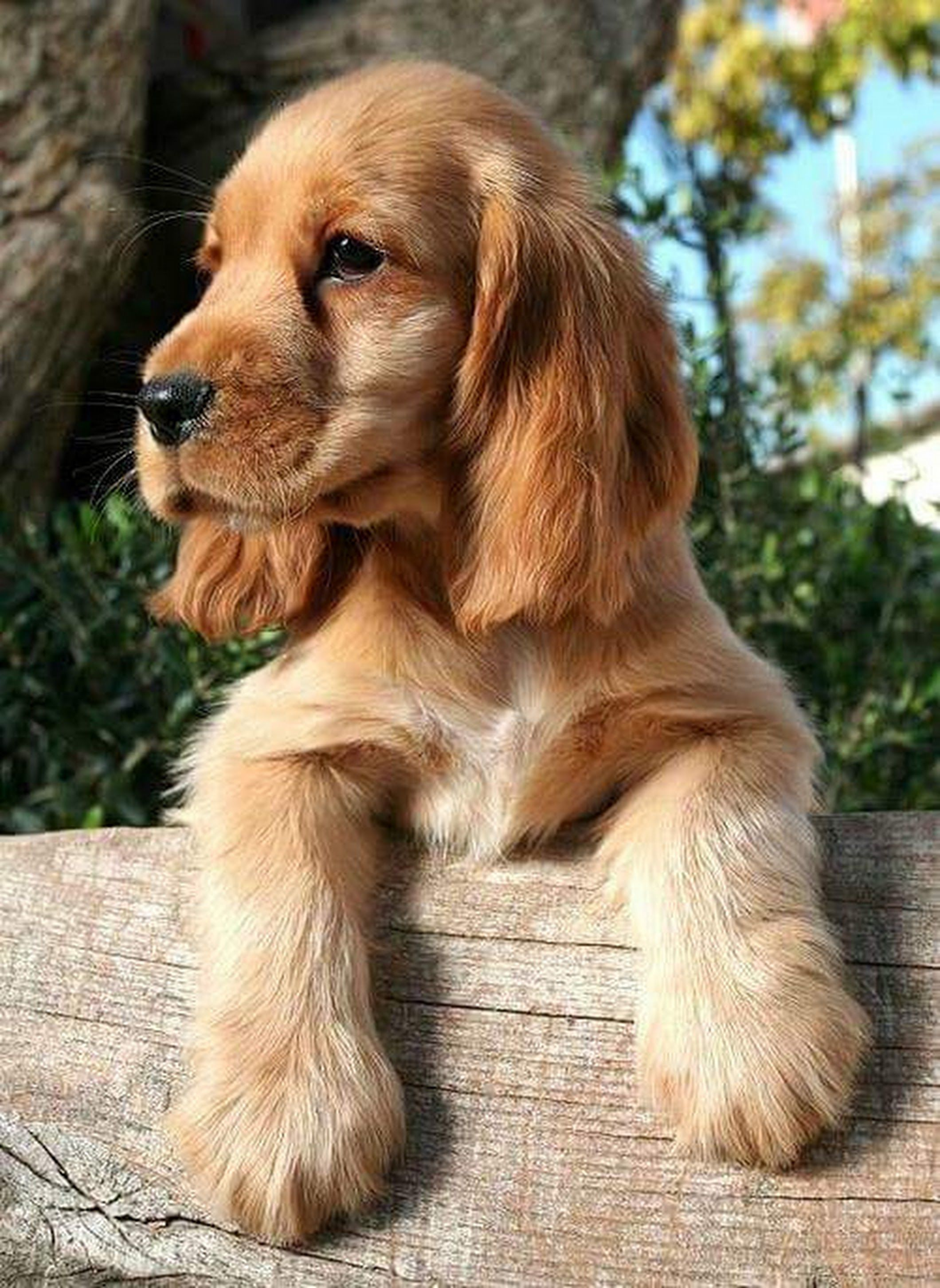 Patricia Peterkin Brown Dog Names Cocker Spaniel Puppies Puppies