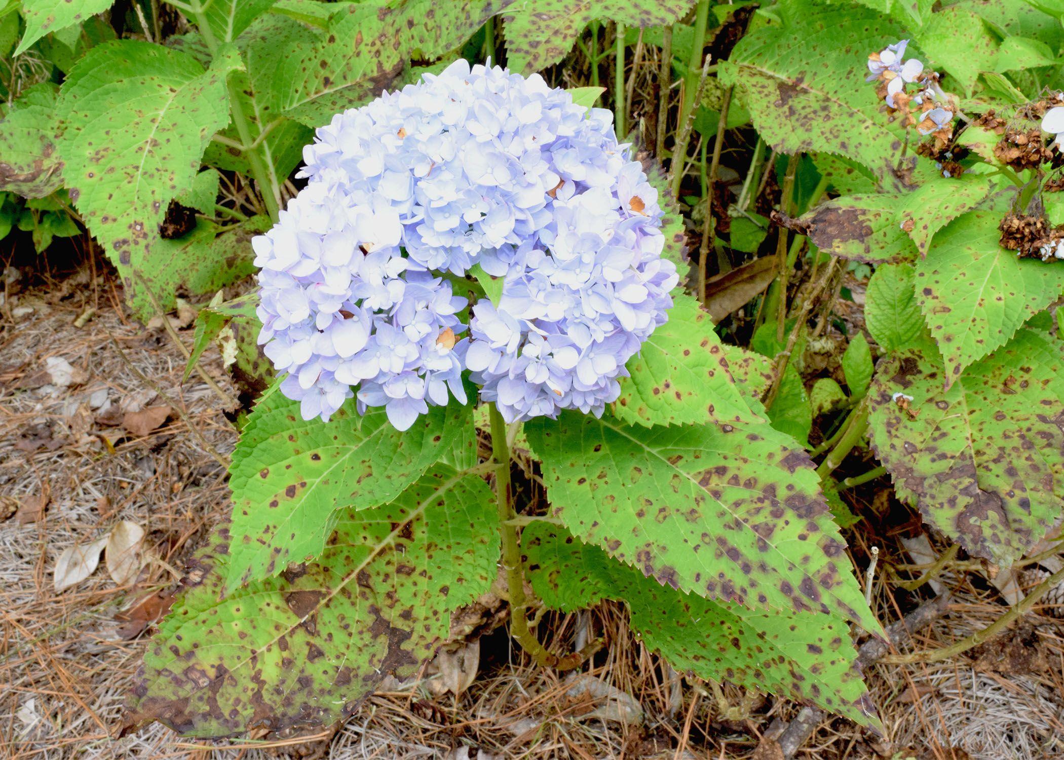 Cercospora Leaf Spot On Hydrangea Hydrangea Leaves Big Leaf Hydrangea Planting Flowers