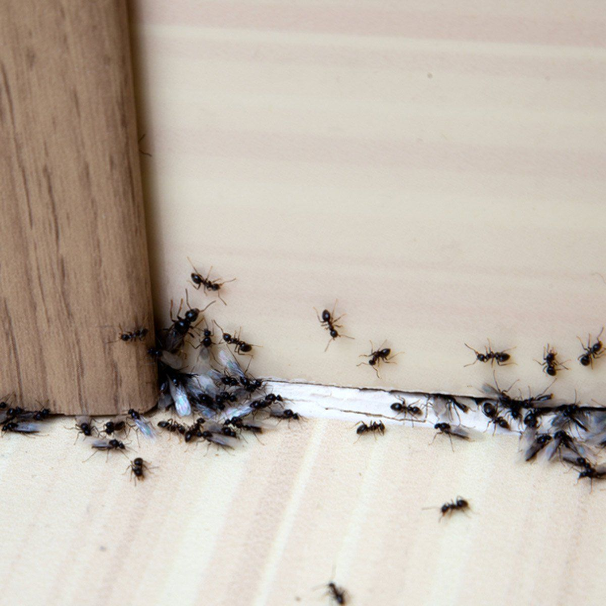 How To Quickly Get Rid Of Ants Get Rid Of Ants Rid Of Ants