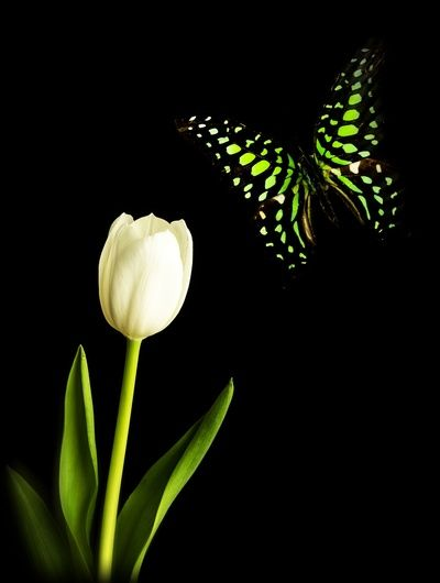 Beautiful butterfly and white tulip flower by Edward M. Fielding…