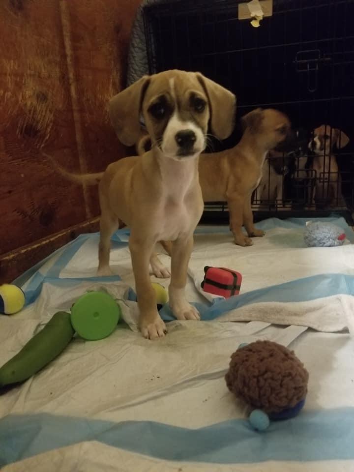 Adopt Pepper On Pet Adoption Adoption Puppy Party