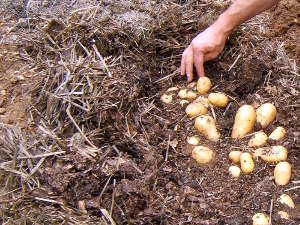 r ussir la culture des pommes de terre sans enterrer les plants sans les butter et en les. Black Bedroom Furniture Sets. Home Design Ideas