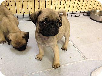 Pin By Cindy Feiler Jampel On Furniture Pugs Puppies Pet Adoption