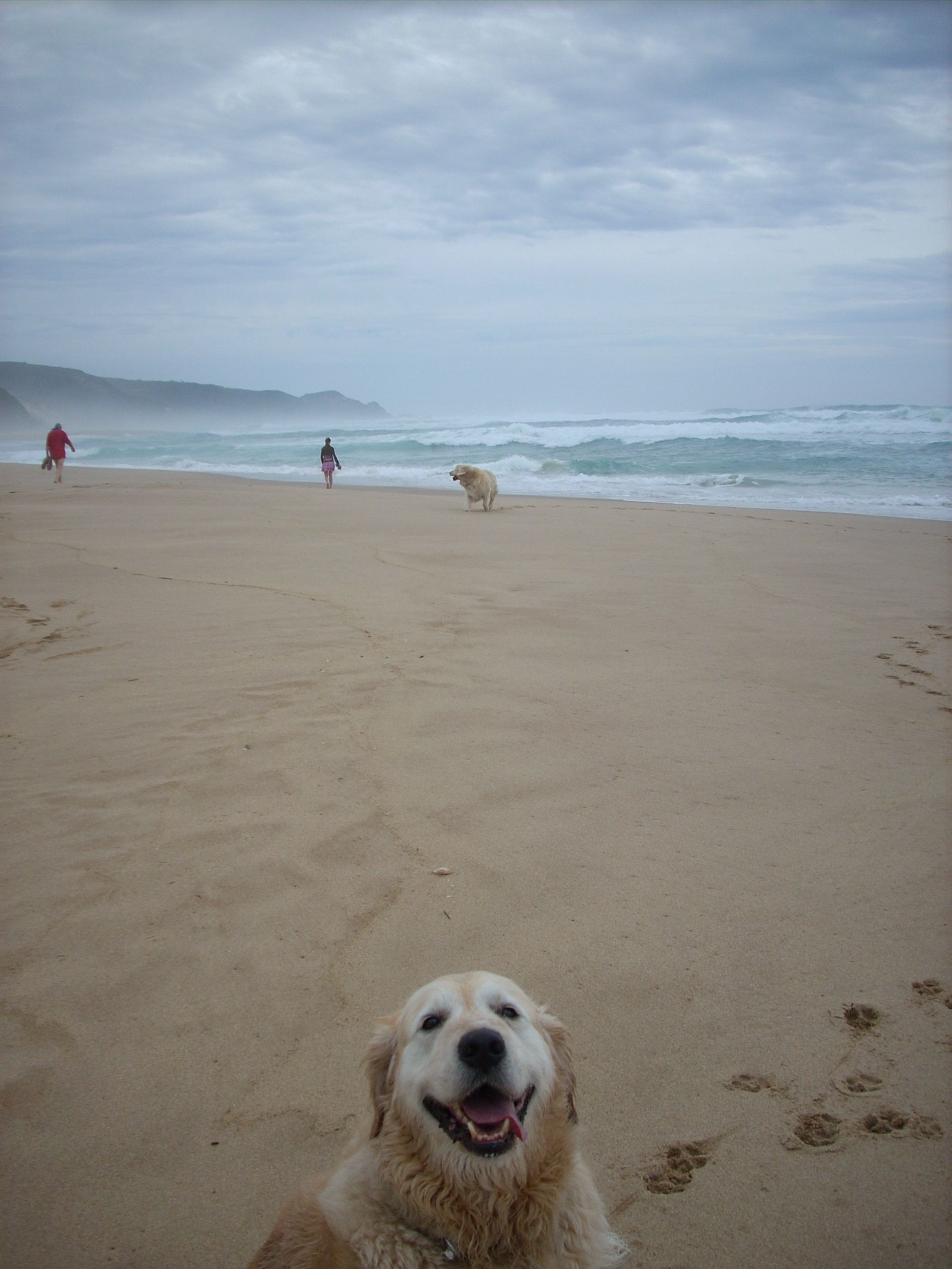 Beau Goldenretriever At Johanna Beach Victoria Australia