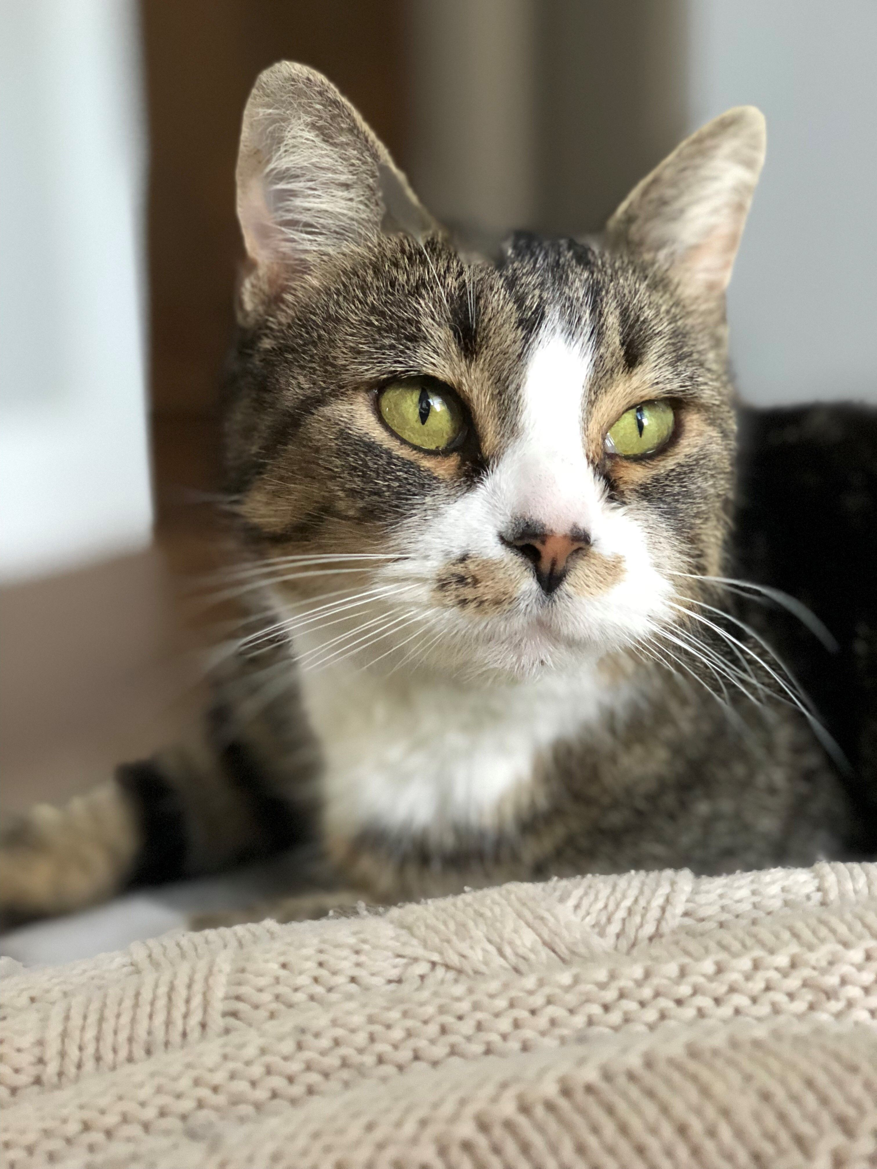Adopt Dolores on (With images) Cat adoption, Cats, Cat