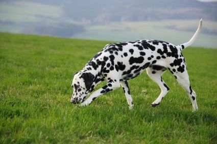 6 Hereditary Health Conditions Commonly Seen In Dalmatians