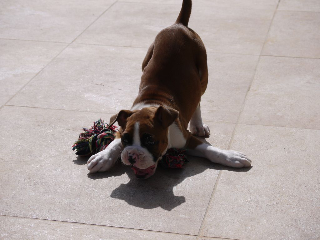 Pin by Small Fries on Dogs Running Boxer puppy, Boxer