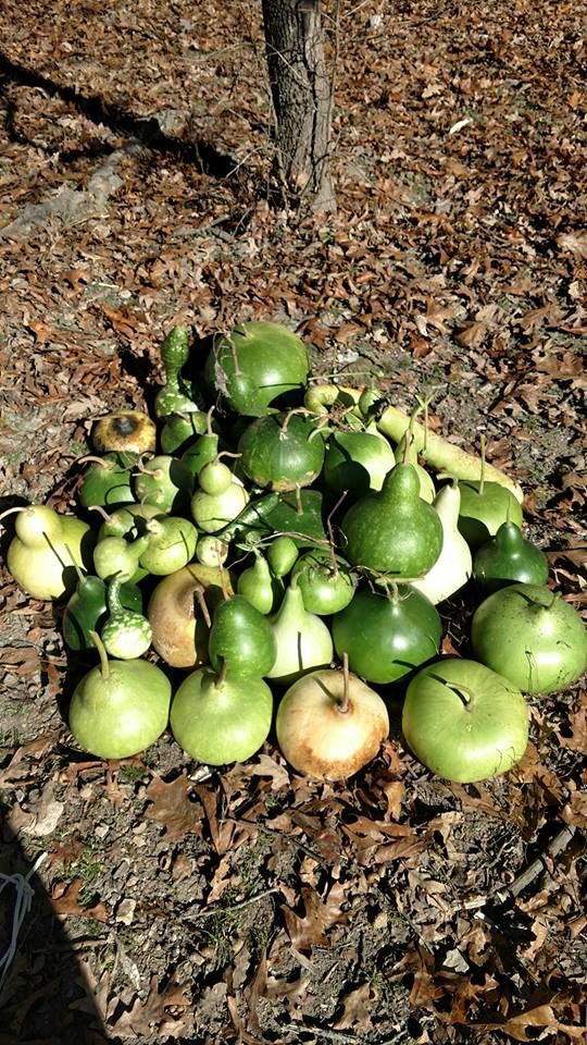 My future gourd art! Good gourd harvest from a small patch.