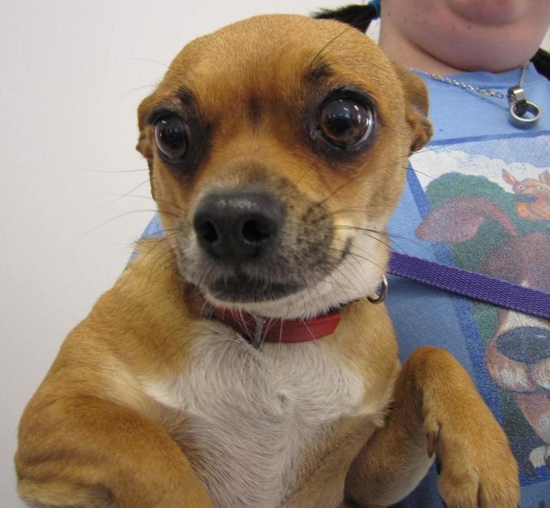Adopt Adelita On Adoptable Small Breeds Adoption Animals