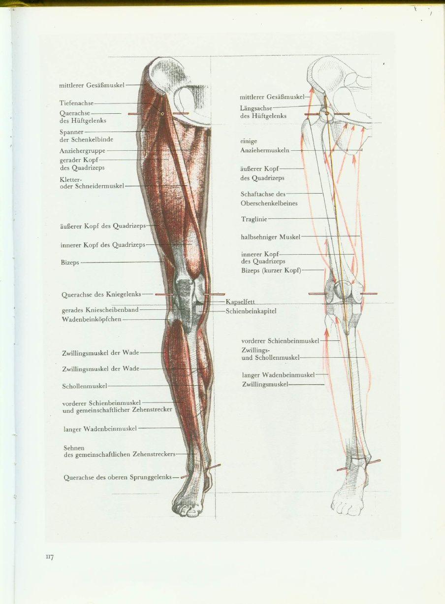 Tolle Muskeln Des Hüftgelenkes Bilder - Menschliche Anatomie Bilder ...