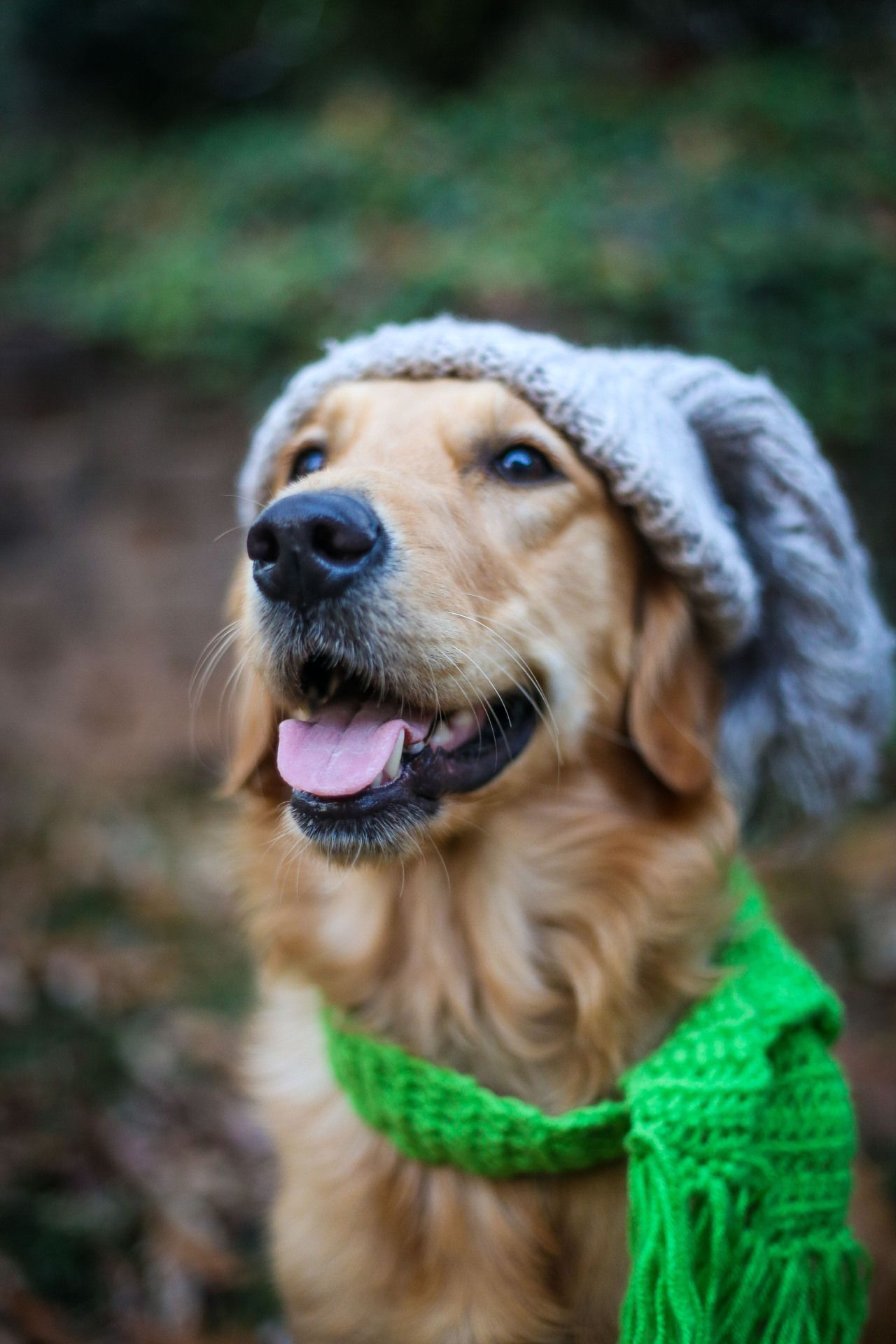 Golden Retriever In Winter Cold Pictures You Can Get More
