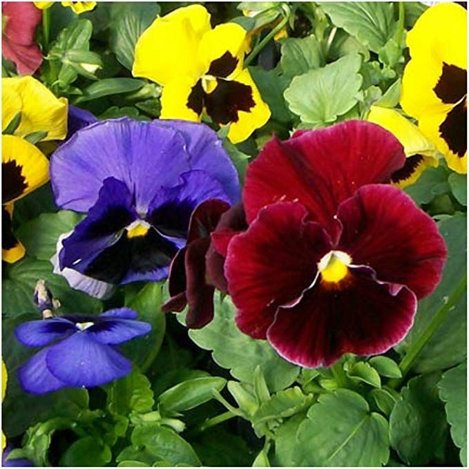 Amazon Com 400 Pansy Seeds Swiss Giants Mix Heirloom Flowers